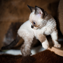 Saar Devon rex kitten