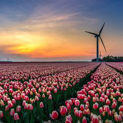 Tulpen in Flevoland