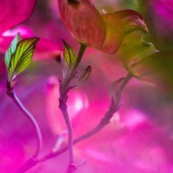 Achter de roze bladeren