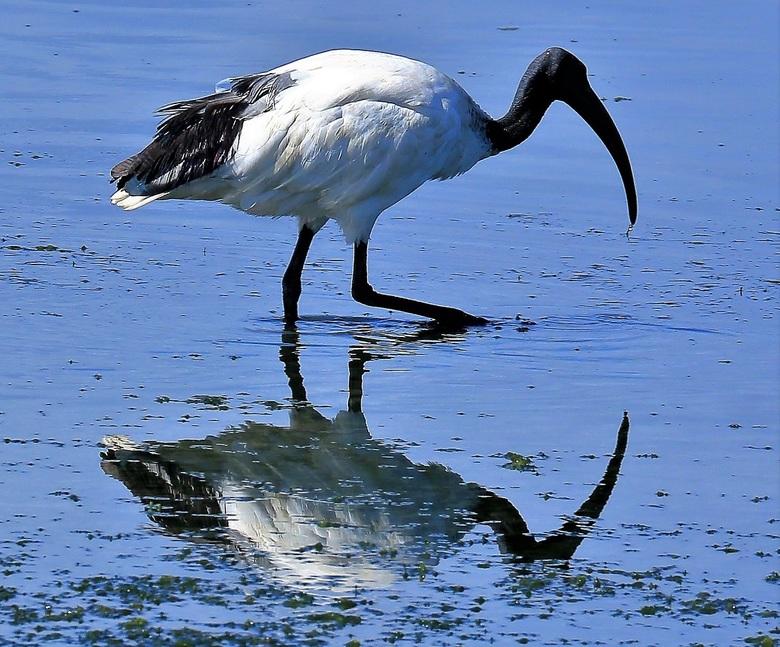 Zoeken op laag water - Ibis op zoek naar voedsel