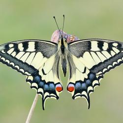 Koninginnenpage - Swallowtail - Schwalbenschwanz - Papilio machaon