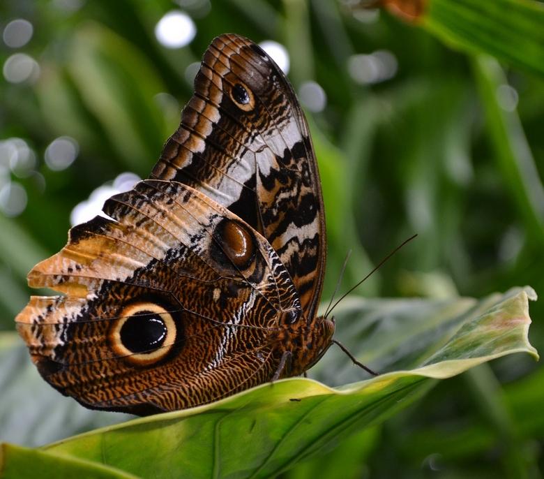 Vlinder - Vlinder in vlinderjungle te Voorschoten