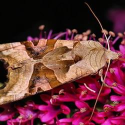 Prachtexemplaar van een nachtvlinder met de naam Agaatvlinder  (nachtopname).