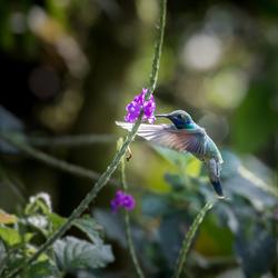 Kolibrie in het wild