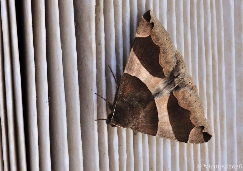 Bruine prachtuil (Dysgonia algira)  - Heden ochtend kwam ik in de tuin deze nachtvlinder tegen, in Ned is hij volgens vlindernet maar 2 keer gezien. <