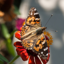 vlinder croatië