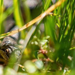 Slang in het gras