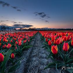 Tulips, Tulips & Tulips...