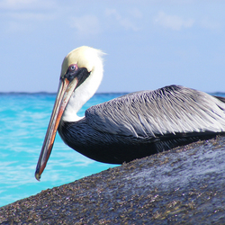 Bruine pelikaan (Mexico)