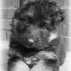 Duitse Herder pup