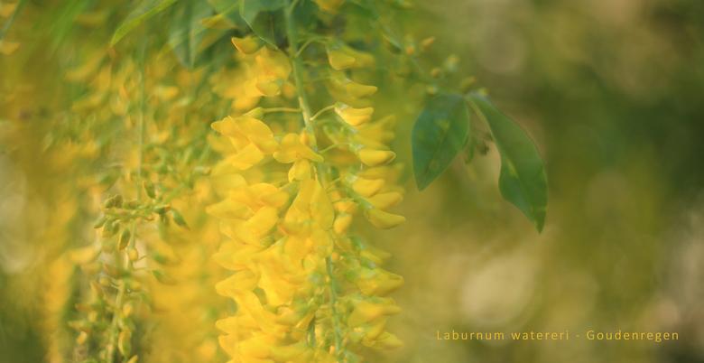 Goudenregen - Gemaakt met de Helios 44 lens