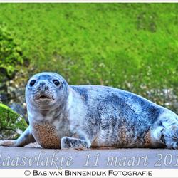 Seal At Maasvlakte