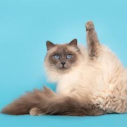 Ragdoll kat in yoga pose