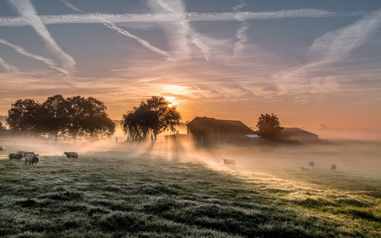 Sheep in the mist -