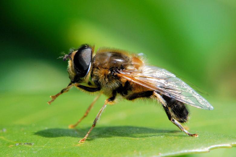 Blinde bij - Een bijtje uit de familie van de &quot;blinde bijen&quot; <br /> Kan wel kloppen....hij zag me waarschijnlijk niet en bleef dus lekker l
