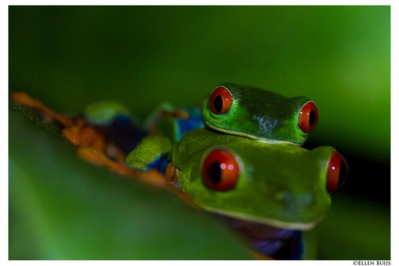 Roodoogkikker, Costa Rica - De Roodoogkikker is een nachtdier. De foto's zijn in het donker gemaakt, belicht met een zaklamp.