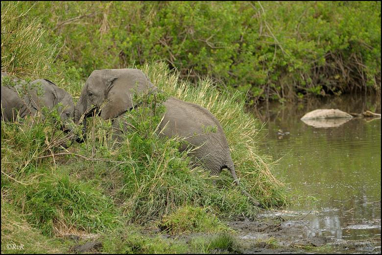 Trekken en duwen - Het voordeel van een privé safari is o.m. dat je zelf bepaald hoe lang je ergens blijft staan. Bij deze groep olifanten zijn we lan