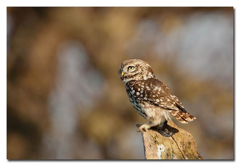 Uiltje - nog een keer het pracht steenuiltje weten te fotograferen geen roofvogel workshop o.i.d. geheel in de vrijne natuur<br /> <br /> Effies in
