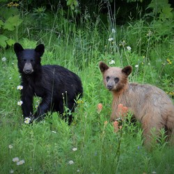 Canadian black bears