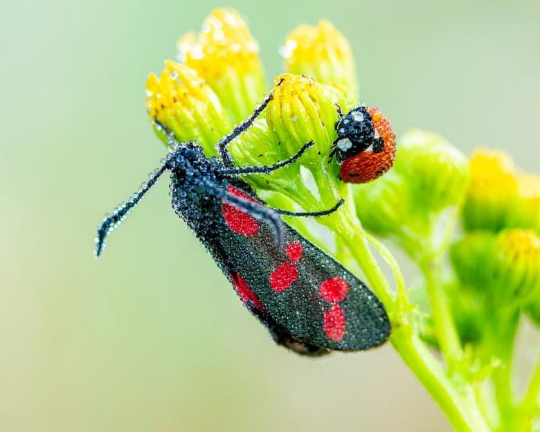 Sint-jansvlinder én lieveheersbeestje, bedauwd bij elkaar op één plantje. - Lopend door een veld, viel me dit koppeltje op. Beide nog helemaal nat van