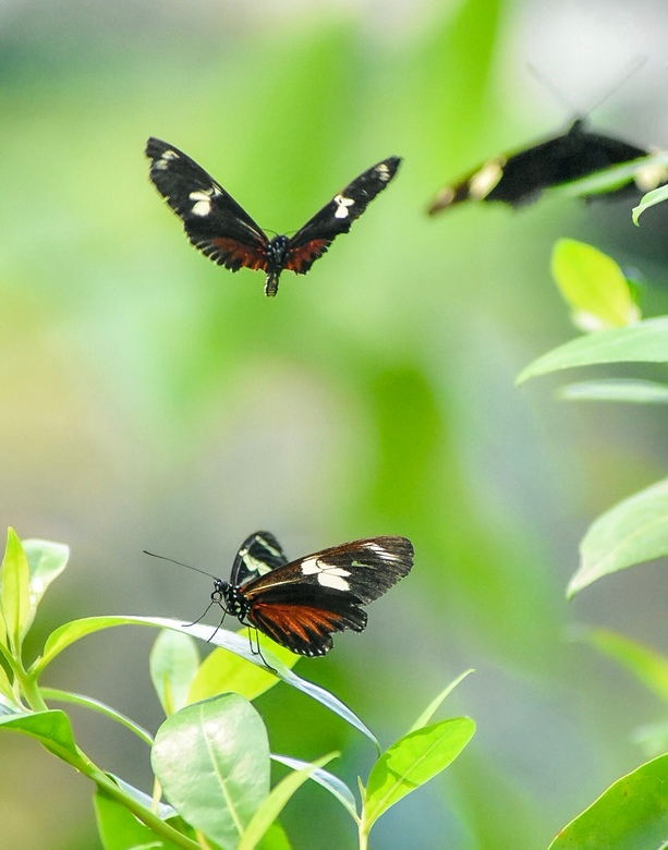 Doris-Passiebloemvlinder - Doris-Passiebloemvlinders in de Mangrove in Burgers' Zoo Arnhem.