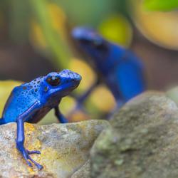 Blue prince