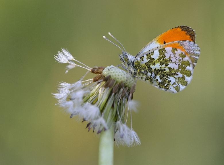 oranje tipje - wat een mooie vlindertjes zijn het toch