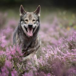 Wolfhond in actie op de heide