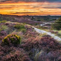 Heide in de Schoorlse duinen