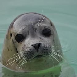 Zeehond op Texel