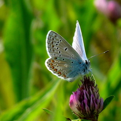 Icarusblauwtje op klaverbloem