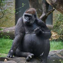 Gorilla in Artis