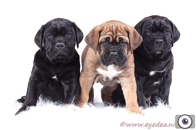 Cane Corso -  Italian Guardian -  puppies - Deze drie kleine schatten hebben we zelf gefokt. Wat een heerlijkheid om mee te hebben gemaakt.  Onze kenn