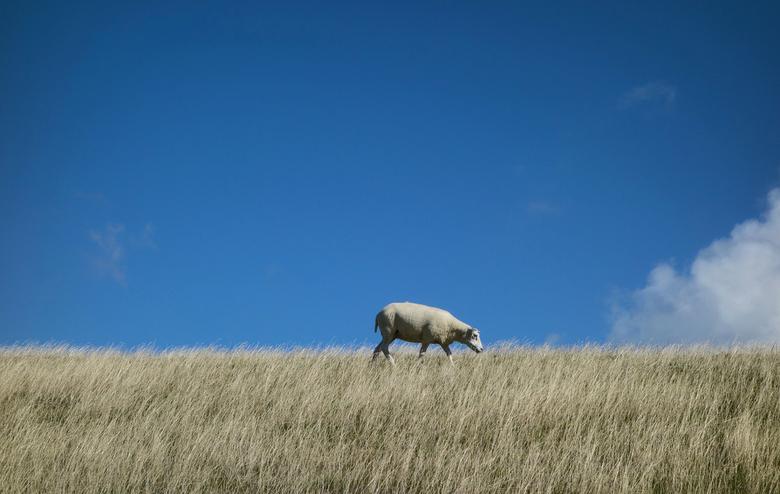 Het verloren schaap - Een schaap lopend op een dijkje in Texel.