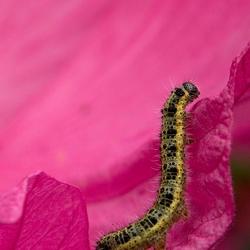 Rups & roze