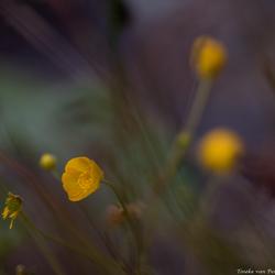 Buttercups in the dark