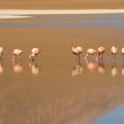 Bolivia, flamingo's