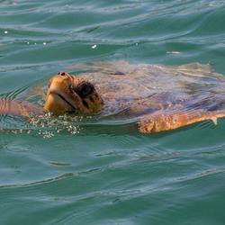 Caretta-caretta schildpad