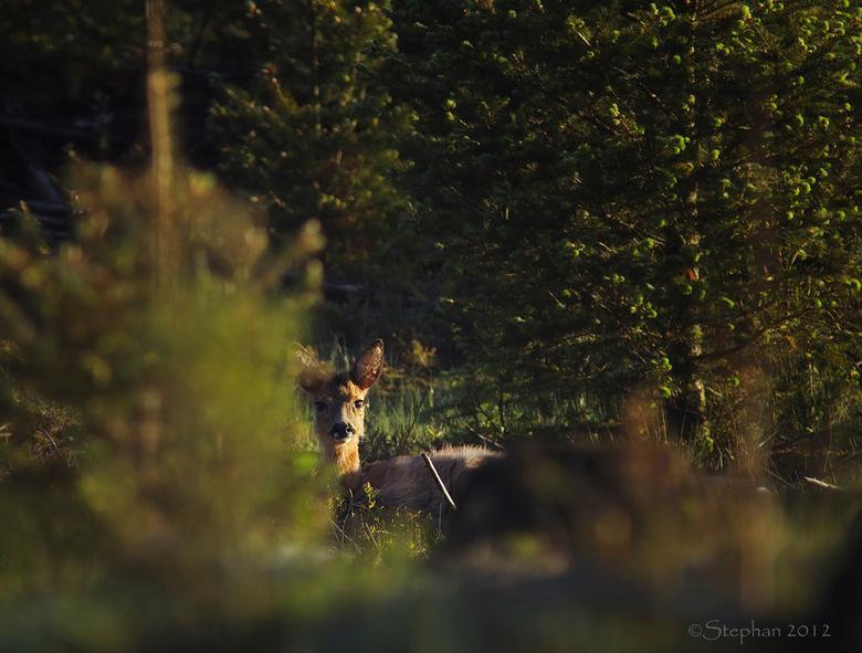 Genietend van het ochtendzonnetje! - Dit knobbokje lag lekker te genieten van het ochtendzonnetje samen met zijn broer tussen de boompjes.<br /> Hij
