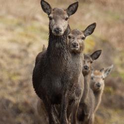 Hindes in de bossen van Isle of Mull