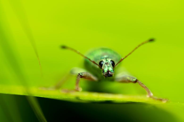 Groene struiksnuitkever - Groene struiksnuitkever