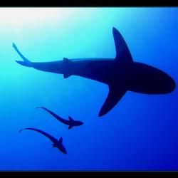 Silhouette van een Haai