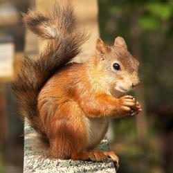 Hongerige eekhoorn