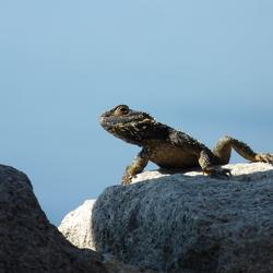 Lesbos - Reptiel