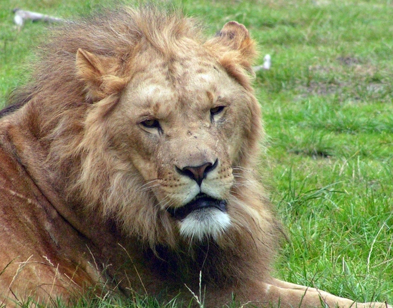 De leeuwenkoning - De leeuwenkoning van Hilvarenbeek