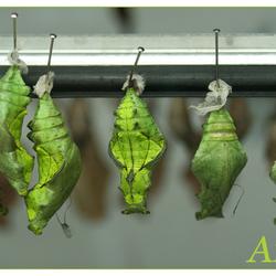 vlinderpop in poppenkast artis