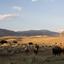 Bizons in Yellowstone USA