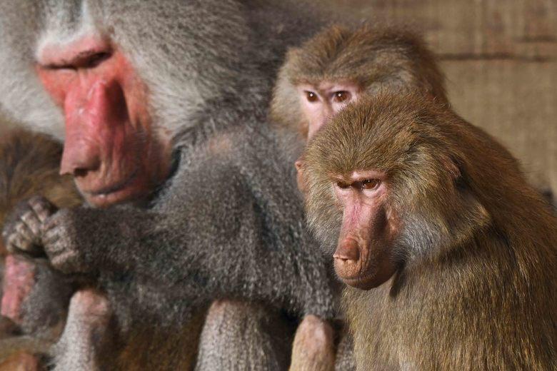 meerwijverij - In grootte is het derde sociale verband van mantelbavianen de band. Meerdere clans trekken er samen op uit om voedsel te zoeken. Ook op