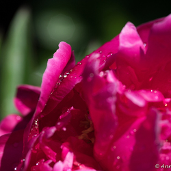 Pioenroos (Paeonia)