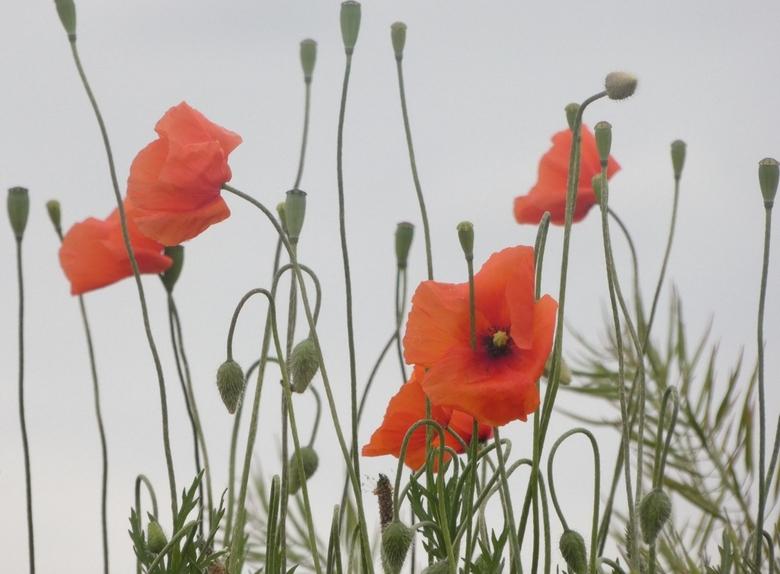Poppy - Wilde klaprozen in de polder.